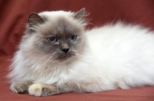 Gato himalayo: salud