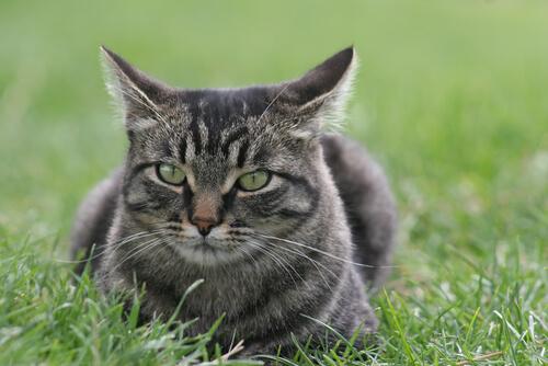 Gato manx: características