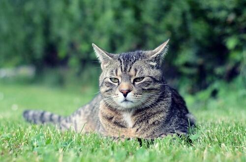 Gato manx: comportamiento