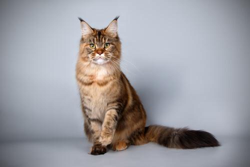 Gatos maine Coon: características