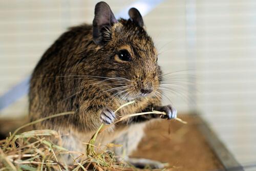 Heno para roedores