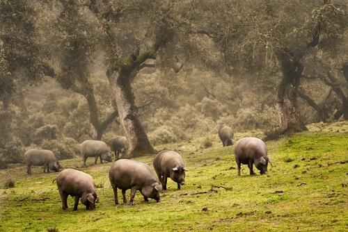 El peligro de la peste porcina africana