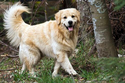 Infecciones urinarias en perros