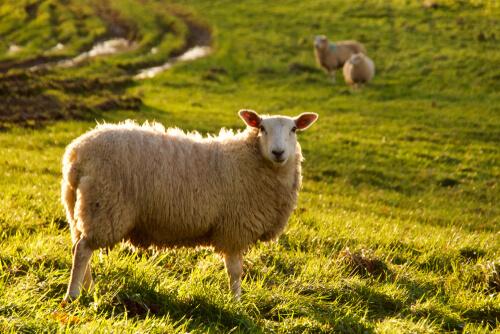Inteligencia de las ovejas