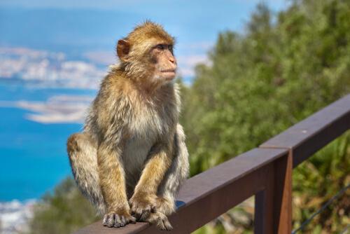 Macaco de Gibraltar en la Irlanda prehistórica
