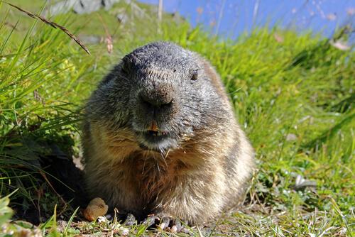 Conoce los hábitos de la marmota alpina