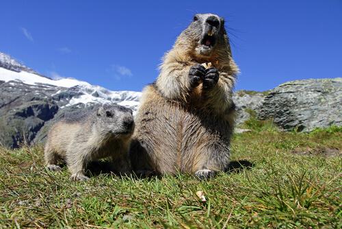 Marmota alpina: comportamiento
