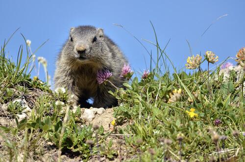Marmota alpina: distribución