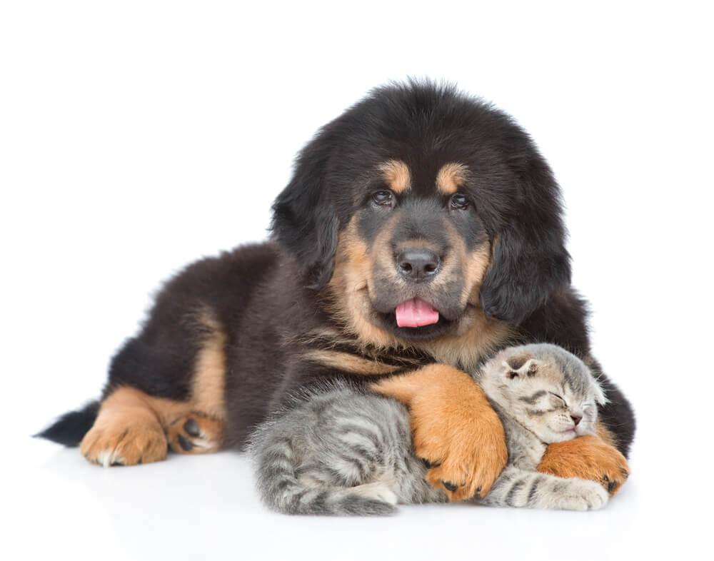 Собаки, похожие на медведей