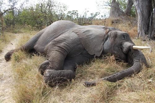 Matanza de 100 elefantes en Botsuana