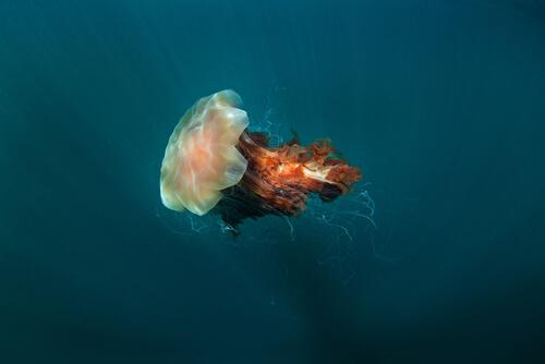 Melena de león: la medusa más grande del mundo
