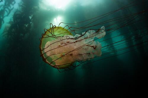 Medusa melena de león: hábitat