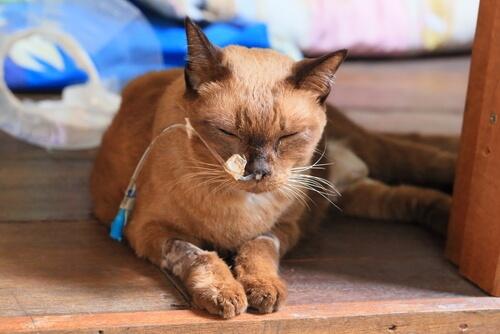 Смута у кошек или панлейкопения: что это такое и как лечится