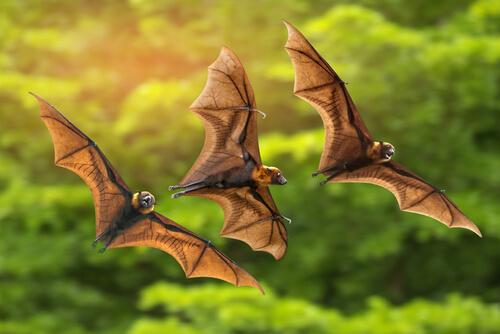 Los murciélagos de Madagascar, en peligro