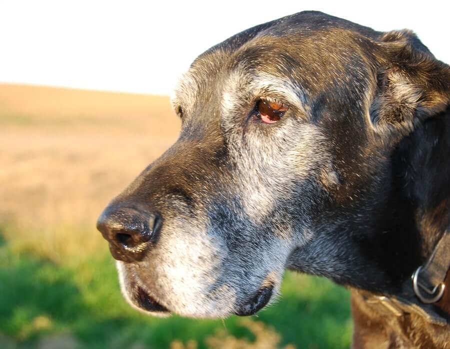¿Cuál es el origen de las canas en los perros?
