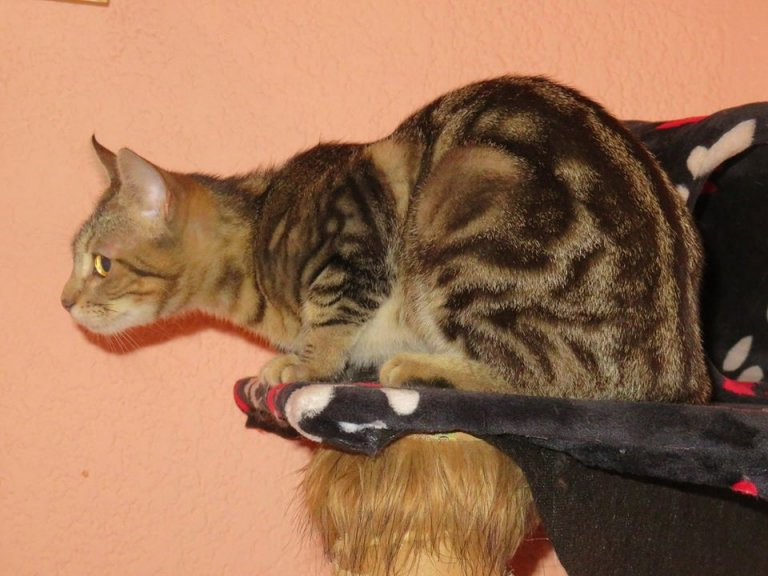 Conoce al Sokoke, un gato africano