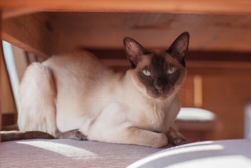 Gato tonkinese o tonkinés: cuidados, características y curiosidades