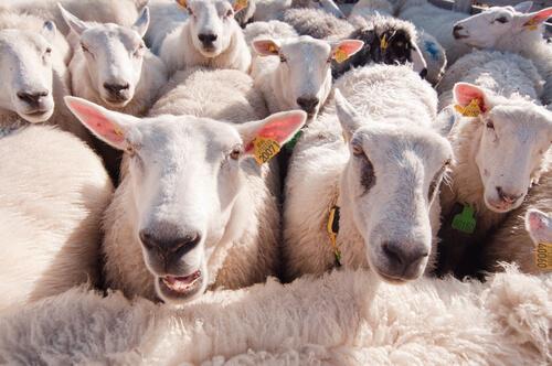 Las ovejas reconocen a las personas