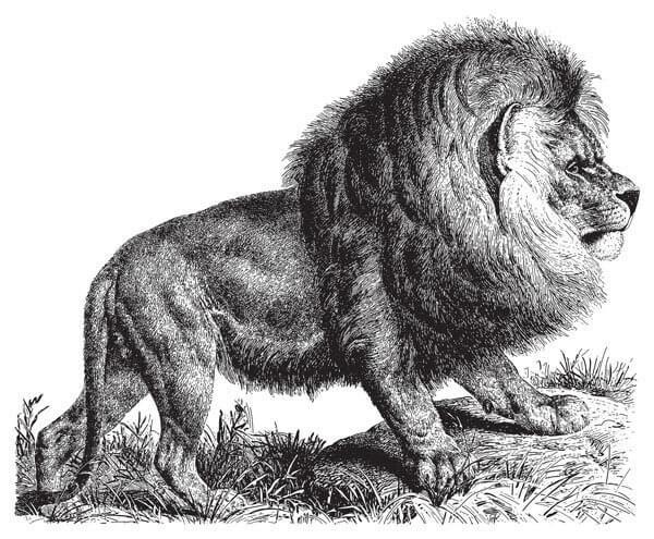 Panthera leo melanochaitus