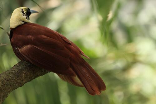 Paradisaeidae