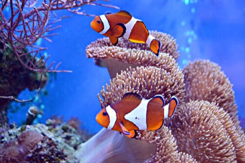 Peces más bonitos: pez payaso