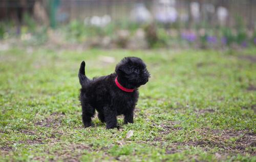 Perros en peligro de extinción: affenpinscher