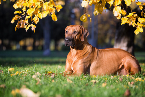 Perros en peligro de extinción: crestado rodesiano