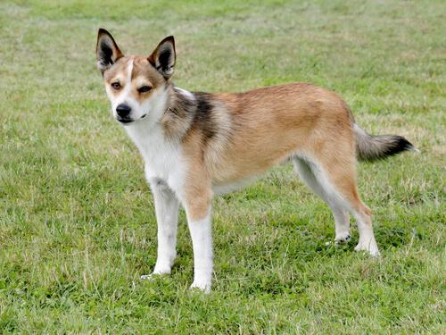 5 perros en peligro de extinción