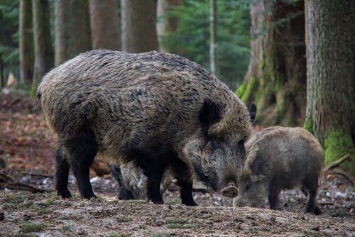 Peste porcina africana en Europa
