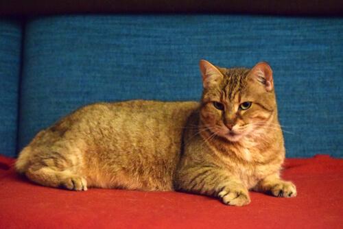 Pixie Bob, un gato semejante al lince rojo