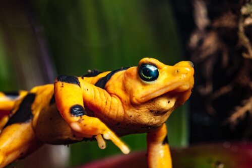 La llamativa rana dorada panameña