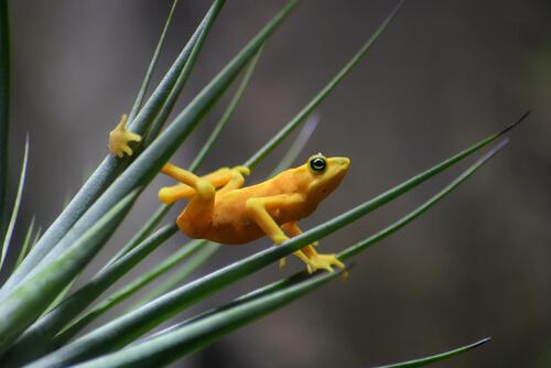 Rana dorada panameña: hábitat