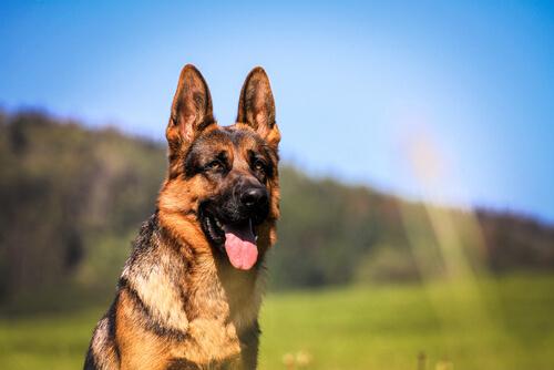 Razas de perro guardián: pastor alemán