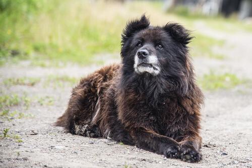 Razas de perro guardián: pastor caucásico