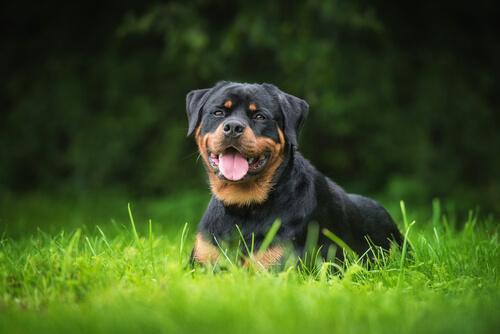5 razas de perro guardián que mantendrán seguro tu hogar