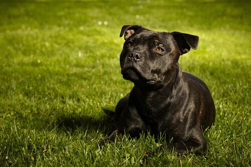 Razas de perro guardián: staffordshire bull terrier