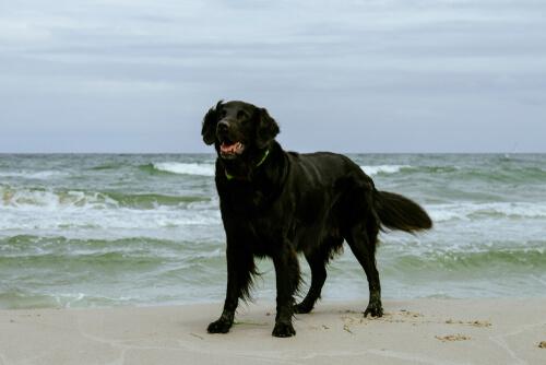 Razas grandes de perros nadadores: labrador retriever de pelo liso