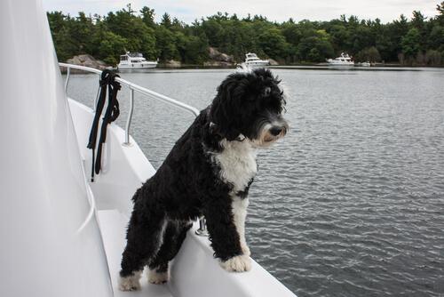 Razas grandes de perros nadadores: perro de agua portugués