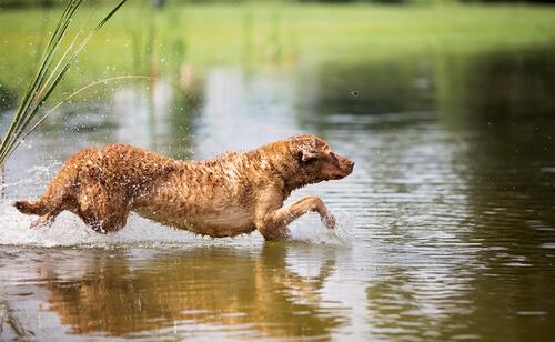 Razas grandes de perros nadadores: retriever de Chesapeake