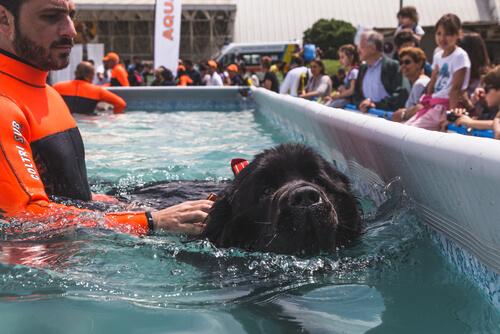 Razas grandes de perros nadadores: terranova