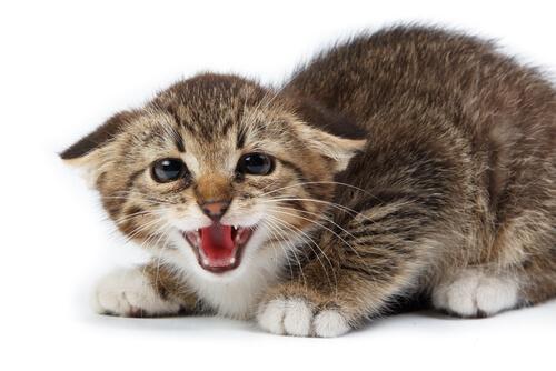 Ronroneo de los gatos: sonido