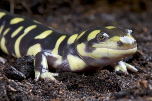 Salamandra tigre: higiene