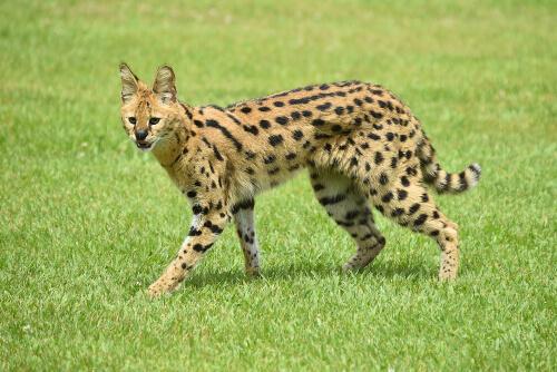 Serval: gato salvaje