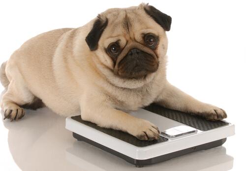 Cómo solucionar el sobrepeso en tu mascota