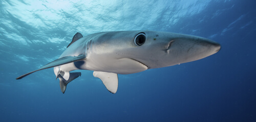 Tiburón azul: alimentación