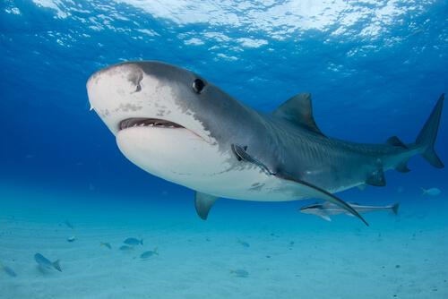 Tiburón tigre: alimentación