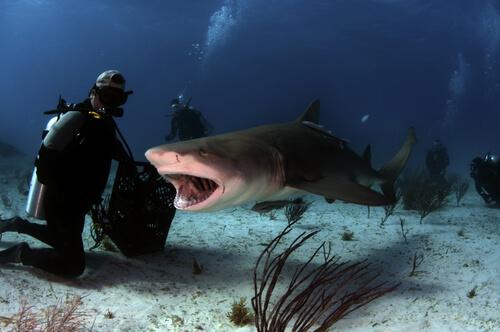 Tiburón tigre: amenazas