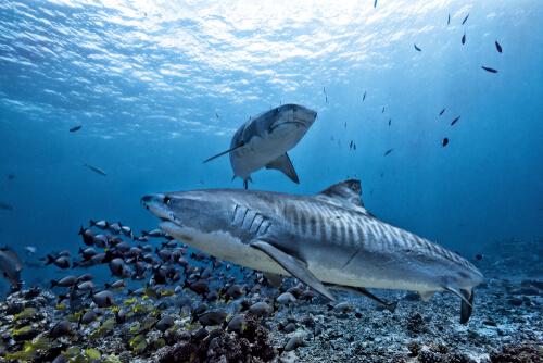 Tiburón tigre: características y alimentación
