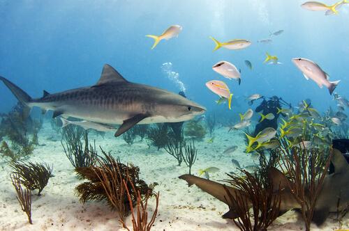 Tiburón tigre en su hábitat