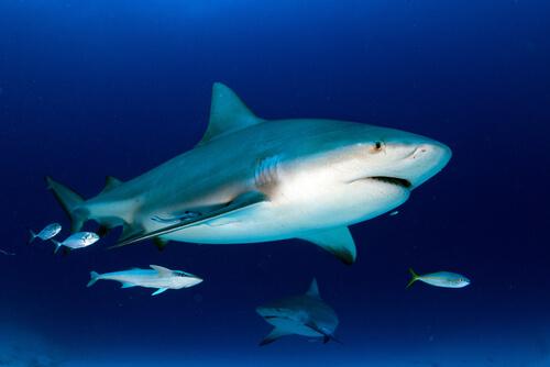 Tiburón toro en su hábitat